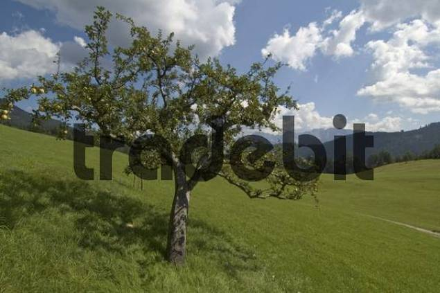 Apple tree at the hotel Gschwandtnerbauer with mix part churches Werdenfelser country Upper Bavaria Germany apple tree RK the restaurant Gschwandtnerbauer near mix part churches Werdenfelser count