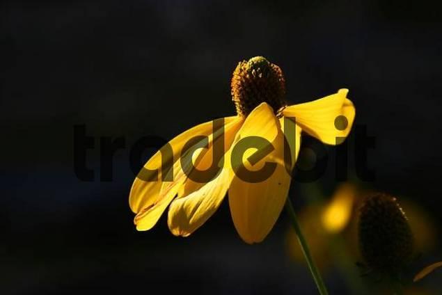 Rudbeckia blossom in backlight