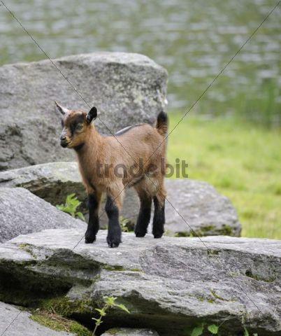 Young Domestic Goat (Capra aegagrus hircus), Schladminger Tauern, Styria, Austria, Europe
