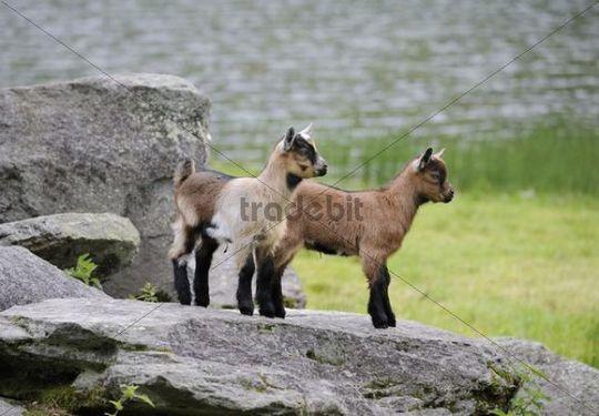 Young Domestic Goats (Capra aegagrus hircus), Schladminger Tauern, Styria, Austria, Europe