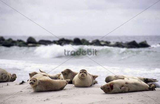 Gray seals (Halichoerus grypus) on the beach of the dune, Helgoland island, Germany, Europe
