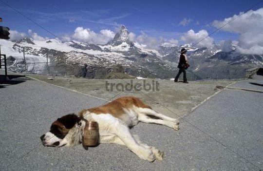 St. Bernard dog and Japanese tourist on the Gornergrat ridge, in the back Mt. Matterhorn, Zermatt, Valais, Switzerland, Europe