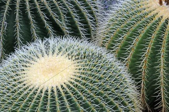 Golden Barrel Cactus or Mother-in-Law´s Cushion (Echinocactus grusonii), Mexico
