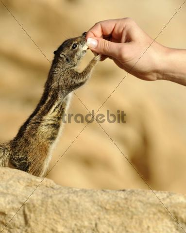 Barbary Ground Squirrel (Atlantoxerus getulus), being fed by hand, Fuerteventura, Canary Islands, Spain, Europe