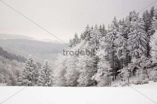 Winter forest in the Thueringer Schiefergebirge, Thuringian Highland in Masserberg, Thuringia, Germany, Europe
