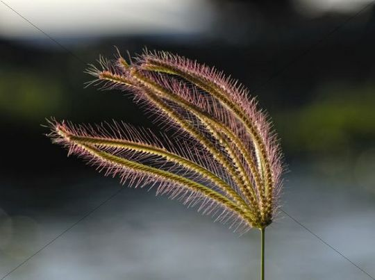 Blooming grass in the wind, St. Croix island, U.S. Virgin Islands, United States