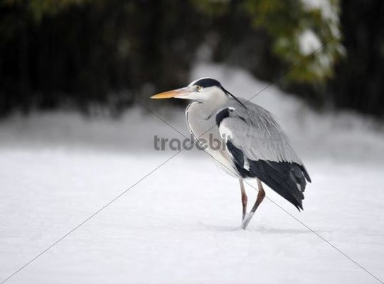 Grey Heron (Ardea cinerea) in the snow