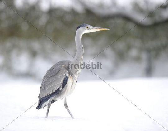 Grey Heron (Ardea cinerea) in winter