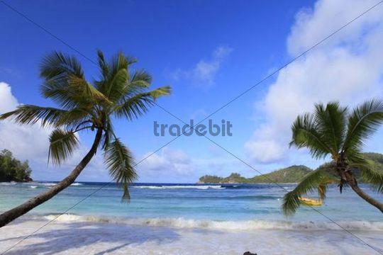 Coconut palm (Cocos nucifera) on beach, Mahe island, Seychelles, Africa, Indian Ocean