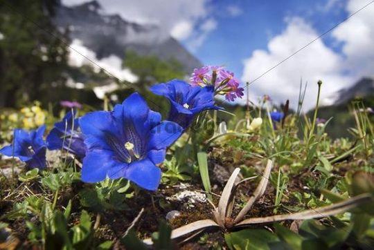 Blossoming Gentian in the Karwendel Range, Tyrol, Austria, Europe