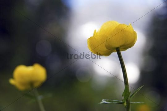 Globe-flower (Globe-flower europaeus)