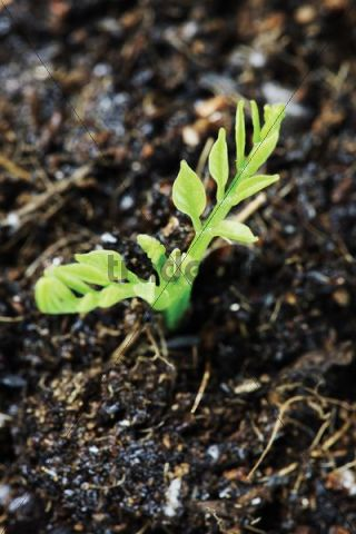 Germinating plant, sprout