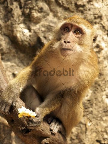 Macaque (Macaca) eating a pineapple, Railey peninsula, Rai Leh, Andaman Sea, Krabi province, Thailand, Asia