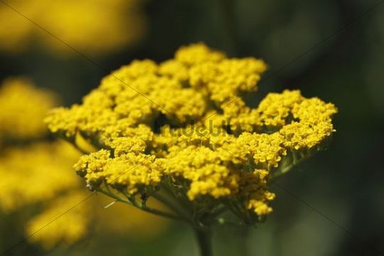 Blossom of Yellow Yarrow (Achillea hybrids), garden plant