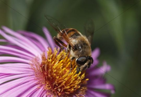 Dronefly, drone fly (Eristalis tenax) on aster flower