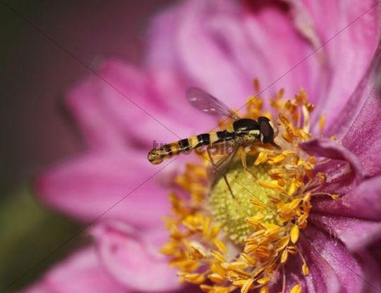 Hoverfly (Sphaerophoria scripta) on Chrysanthemum flower, garden flower