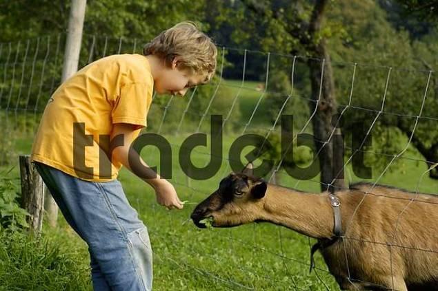 nine-year-old boy is feeding a goat with fresh grass