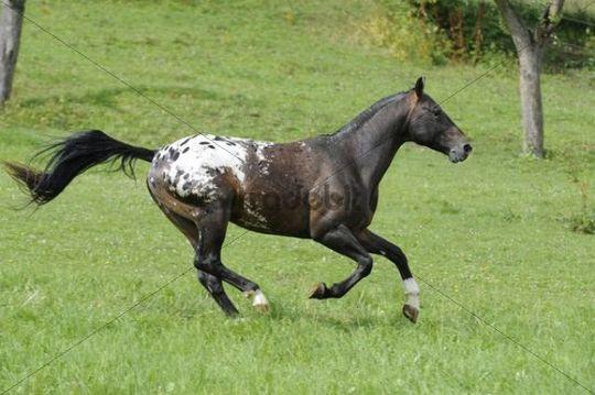 Appaloosa horse gallopping