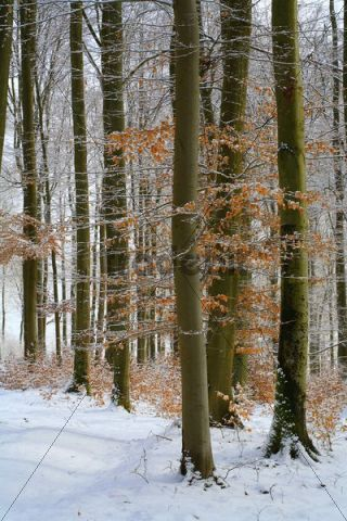 Wintry beech forest (Fagus sylvatica), Westerwald low mountain range, Mittelgebirge mountains, Hesse, Germany, Europe