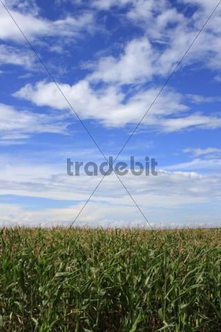 Corn field against cloudy sky, summer