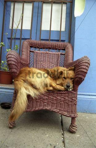 Dog lying cozily, Santiago de Chile, Chile, South America