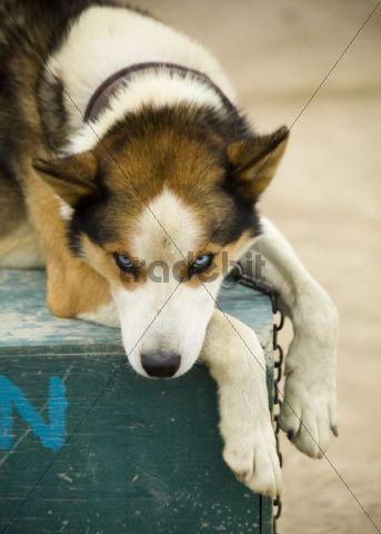 Sleddog, Alaskan Husky resting on dog house, Yukon Territory, Canada