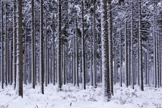 Snow-covered coniferous forest in winter, common spruce (Picea abies), Tangstedter Forst forest, Schleswig-Holstein, Germany, Europe
