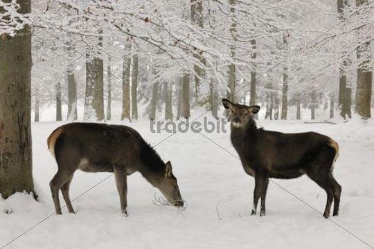 Red deer (Cervus elaphus) in winter, female, with young