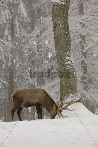Red deer (Cervus elaphus) in winter, male, foraging