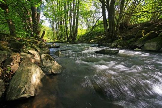 Stream in the Mittelgebirge mountain range, with black alders (Alnus glutinosa) and willows (Salix) on the banks, Westerwald, Hesse, Germany, Europe
