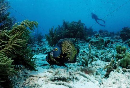 French angelfish (Pomacanthus paru) and diver, Pomacanthus paru, Bonaire, Netherlands Antilles, Caribbean