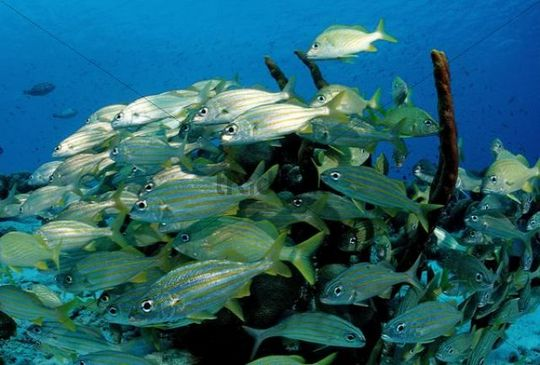 School of Smallmouth grunts (Haemulon chrysargyreum), Bonaire, Netherlands Antilles, Caribbean