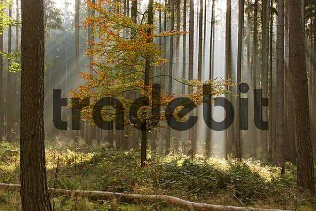 sunbeams in a forest in autumn