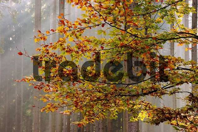 Beech leaves in autumn colors in front of light-cascades in the forest