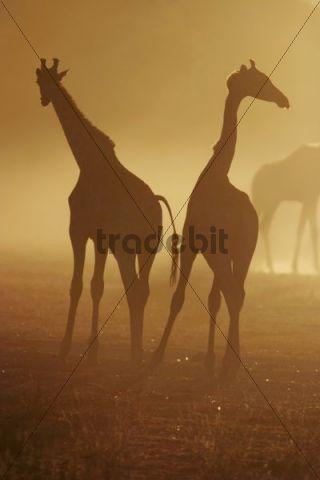 Giraffes (Giraffa camelopardalis) in a sandstorm, South Africa