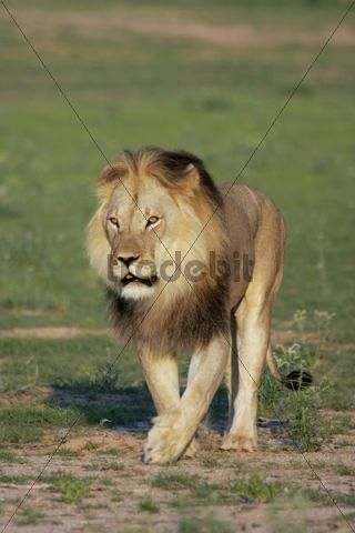 Male Lion (Panthera leo), South Africa