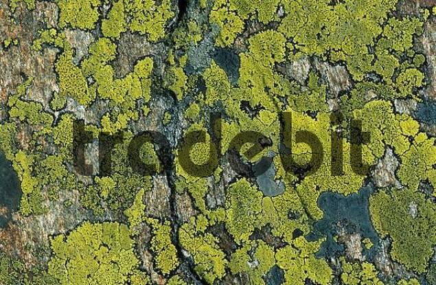 lichens Rhizocarpon geographicum