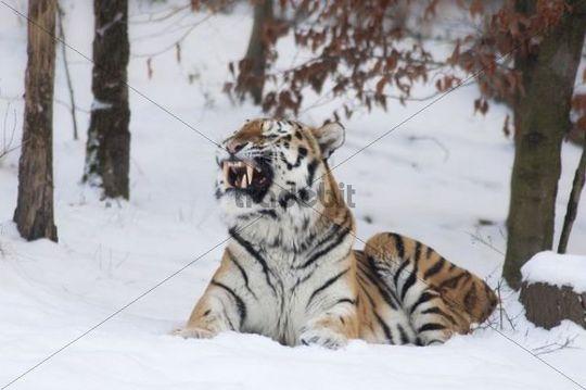 Siberian Tiger or Amur Tiger (Panthera tigris altaica), winter, enclosure