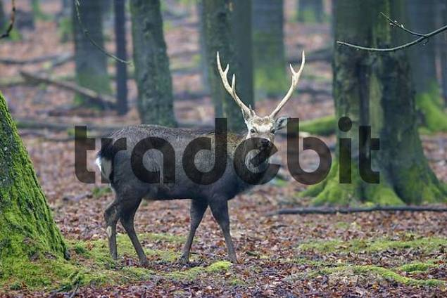 Sika deer Cervus nippon in the forest