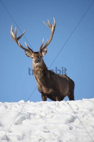 Red Deer (Cervus elaphus) looking over snowy mountain top, Allgaeu, Bavaria, Germany, Europe