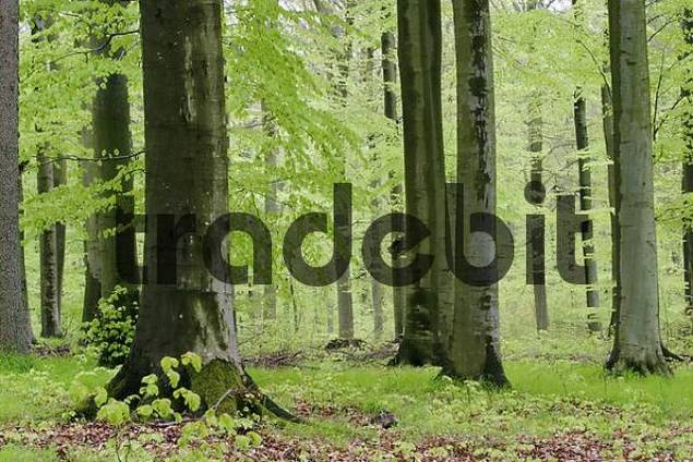 Beech forest in spring with jung green leafs