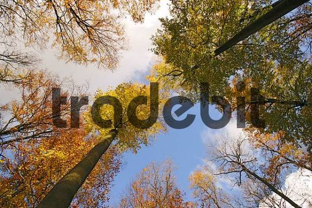 beech-tree forest with autumn foliage