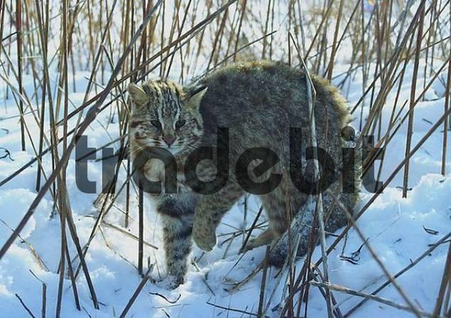 Amur wildcat / Felis euptilura. Ussuriland, Southern Far East of Russia