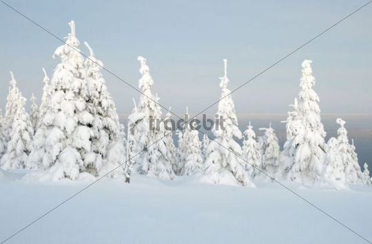 """Snowy winter landscape at dusk on the """"Acker"""", the longest mountain range in the Upper Harz, Harz National Park, Lower Saxony, Germany, Europe"""