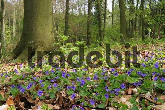 Violets Viola odorata in a spring forest with beech trees