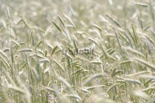 Corn field, detail, ears