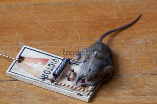 Common House Mouse Mus Musculus In Trap Dead Caught