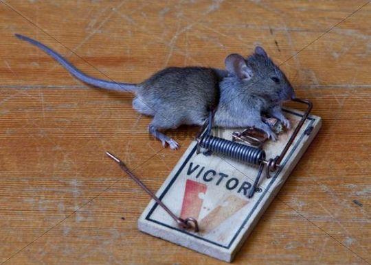 House mouse trap - photo#14