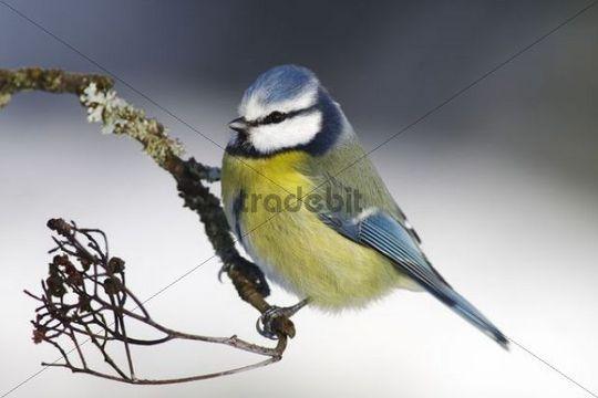 Blue Tit (Parus caeruleus) sitting on a branch