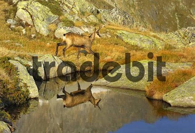 chamois Rupicapra rupicapra, Furka, Switzerland